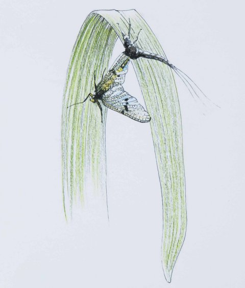 Mayfly hatch Thomas Weiergang