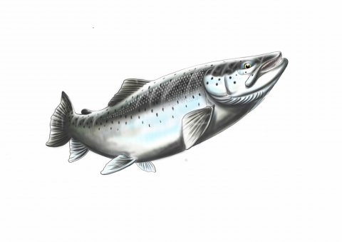 Thomas Weiergang - Fat seatrout tablet drawing